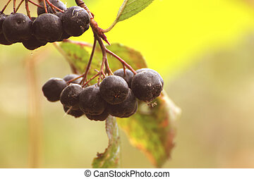 Berries of a black mountain ash