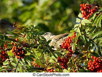 Berries of a rowan and bird