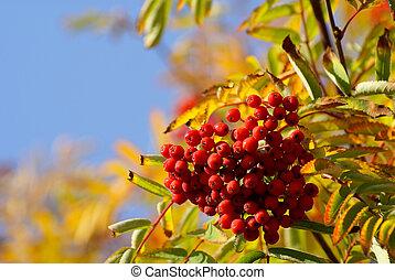 Berries of a rowan