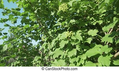 Berries of a viburnum ripen on bush stock footage video