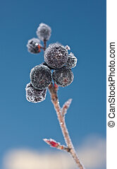 aronia in hoarfrost