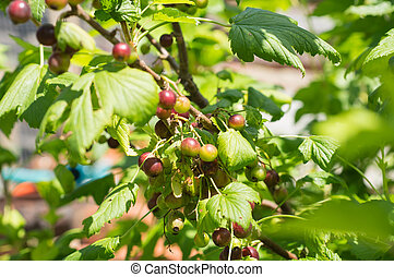 Berries of black currant on a branch in a sunny day