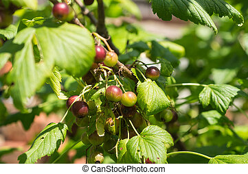 Berries of black currant on a bush in a sunny day