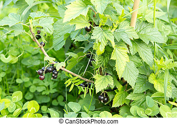 Berries of black currant on branch