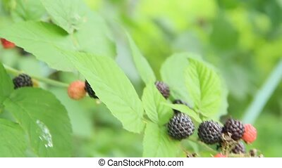Berries of black raspberry hang on bush. Ripe Rubus...