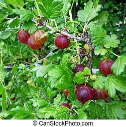 Berries of Gooseberry on a branch