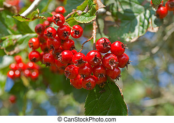 Berries of hawthorn 9 - A close up of the berries of ...
