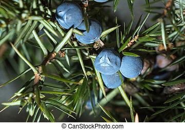 Berries of juniper. Shallow depth of field