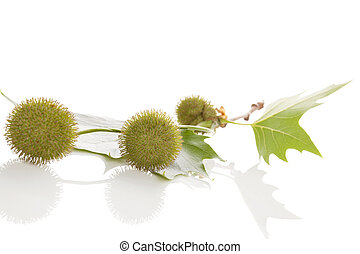 Berries of Platanus X Hispanica - Blooming flowers of London...