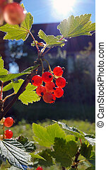 Berries of red currant, close-up