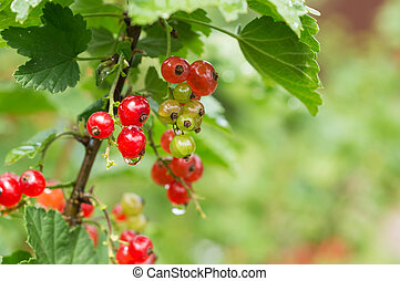 Berries of red currant on a branch after a rain
