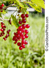 Berries of red currant on a branch