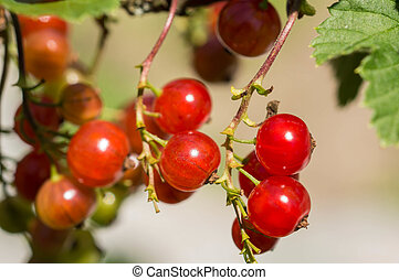 Berries of red currant on a branch close up