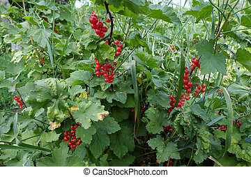 Berries of red currant on a branch. Homegrown berries