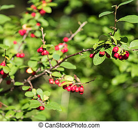 Berries of red mountain ash among the leaves on a blurred background