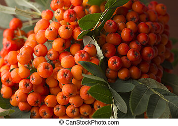 Berries of red mountain ash.