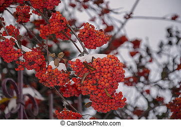 Berries of red mountain ash in winter