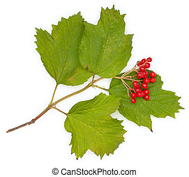 Berries of red Viburnum with leaves, isolated on white, close-up, a top plan view.