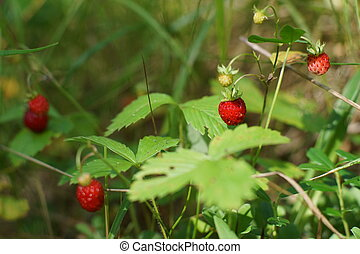 Berries of ripe red strawberries on bushes in the forest