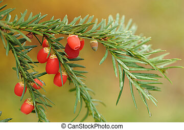 Berries of the European yew.  Taxus