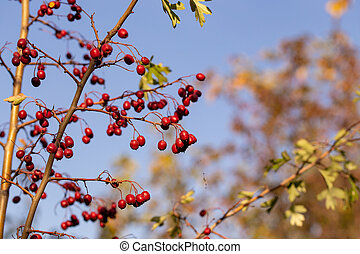 Berries of the hawthorn. Autumn natural background.