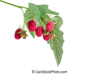 Berries of the raspberries on branch closeup at selective focus