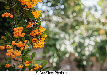 Berries of the yellow Asian blackthorn evergreen shrub Pyracantha rogersiana orange plant variety on a bokeh background