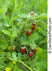 Berries of wild strawberries on a branch in the forest