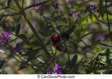berries on a bush near the river alberche in Spain