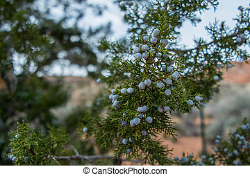 Berries on Juniper Tree grow on branches