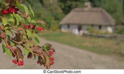 Berries on the background of the old house. Viburnum on the...