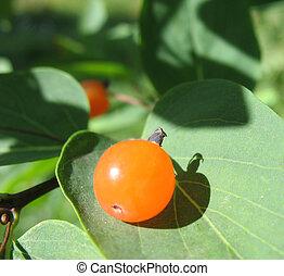Berries Tatarian honeysuckle (Lonicera tatarica), ...