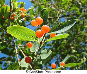 Berries Tatarian honeysuckle (Lonicera tatarica), Caprifoliaceae