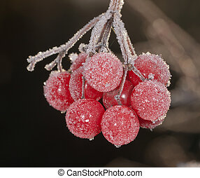 berries under hoarfrost close up
