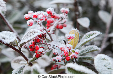 Berries under rime frost. Piedmont, Northern Italy. - Red...