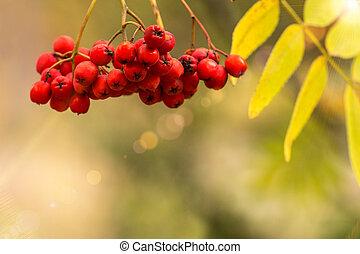 berriesin, outono, park., rowan