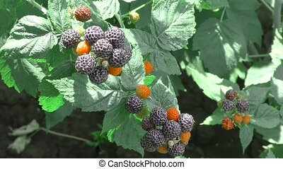 Berry garden BlackBerry - Garden Berry BlackBerry came in...