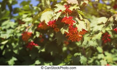 Berry Laden Branches of a Guelder Rose Swaying in the Wind...