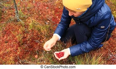 berry-picker gathers red berries of cowberry in the forest