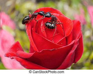 besar, jardín, hormigas, rosa