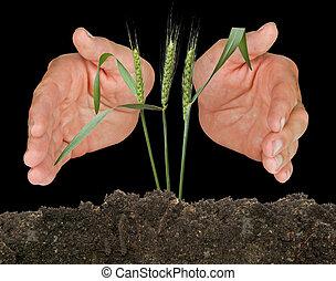 beschermd, tarwe, handen