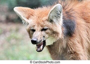 besetzter wolf, porträt