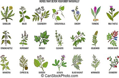 Best herbs for body detox. Hand drawn vector set of...
