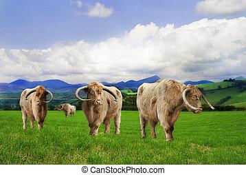 bestiame altopiano