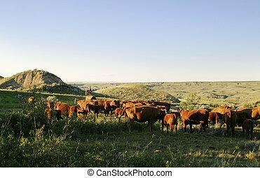 bestiame, rotondo, su