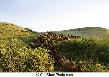 bestiame, su, rotondo