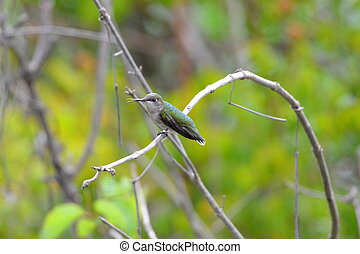 beszéd, kolibri