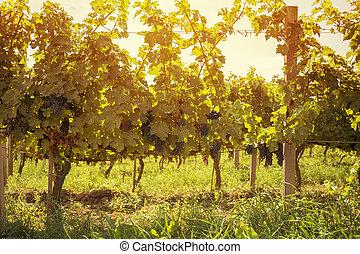 betakarít, alatt, ősz, szőlőskert