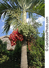 betel-nut palm - bright red and green fruit of betel palm ...