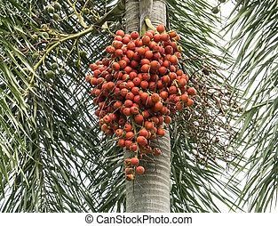 Betel Nuts on tree 1